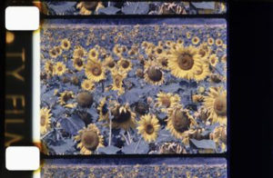 les-tournesols-colores
